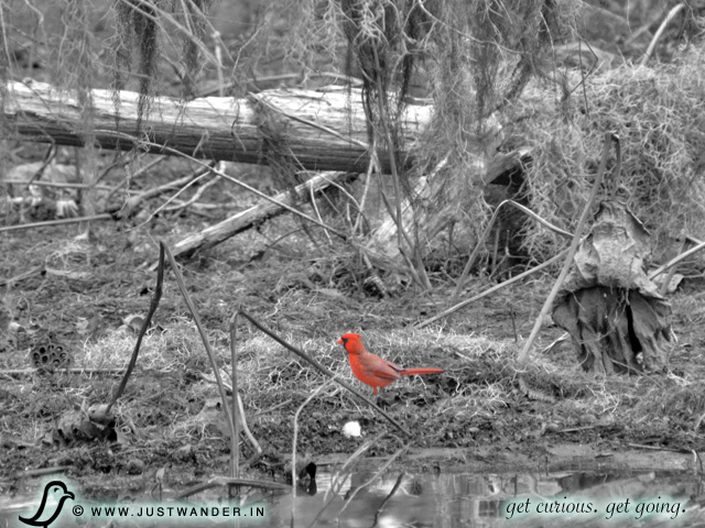 PIC: Cajun Country Swamp Tour - Birding - Cardinal
