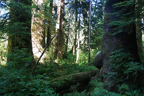 Randy Stoltmann Grove in Carmanah Walbran Park, Carmanah Valley, West Coast Vancouver Island, British Columbia, Canada