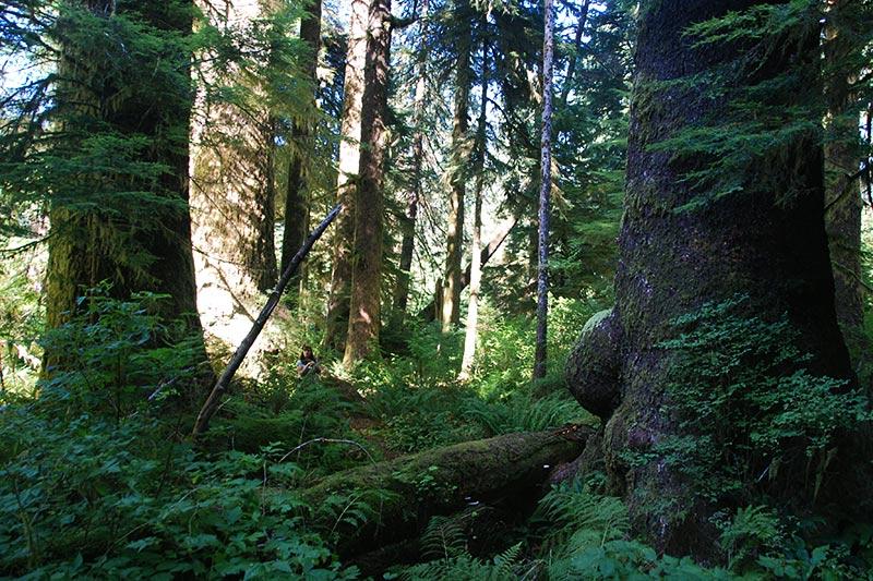 Randy Stoltmann Grove in Carmanah Walbran Park, Carmanah Valley, West Coast Vancouver Island, British Columbia, Canada