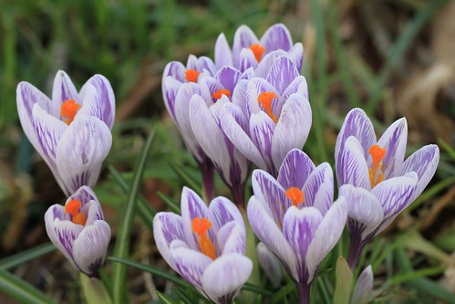 Kilmacurragh Crocus