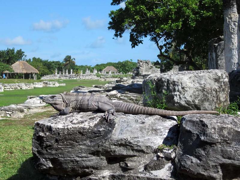 Iguana de la Zona