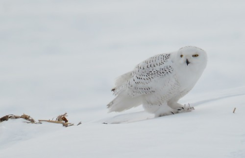 Snowy Owl Eating A Mouse