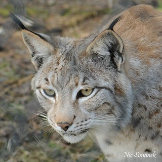Luchs Lynx lynx