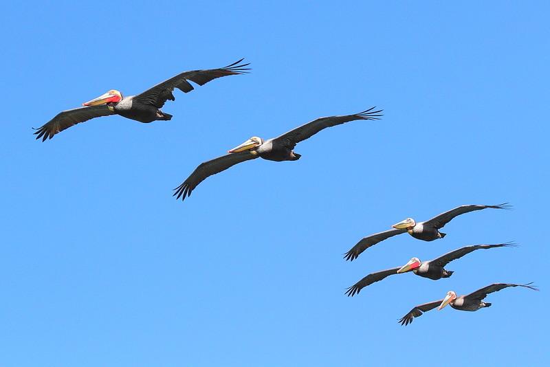 IMG_4670 California Brown Pelican