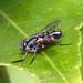 Small photo of Cylindromyia sp. Tachinidae.