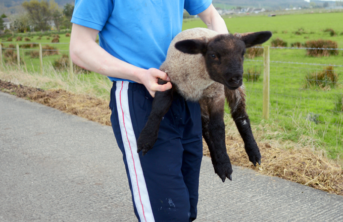 Lamb Herding