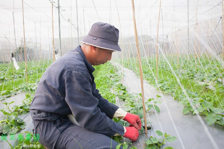 綠翠微農場--無毒美濃瓜 (5)