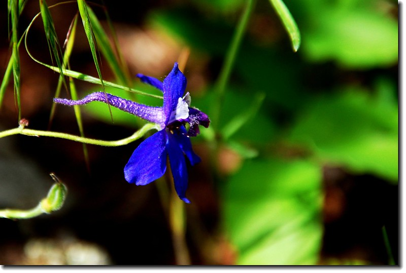 Early larkspur 3