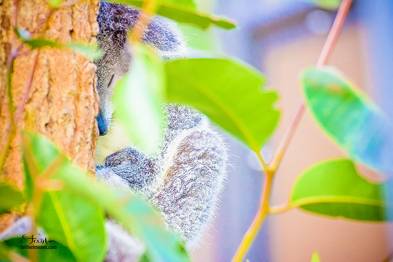 Baby koala snoozying on a tree