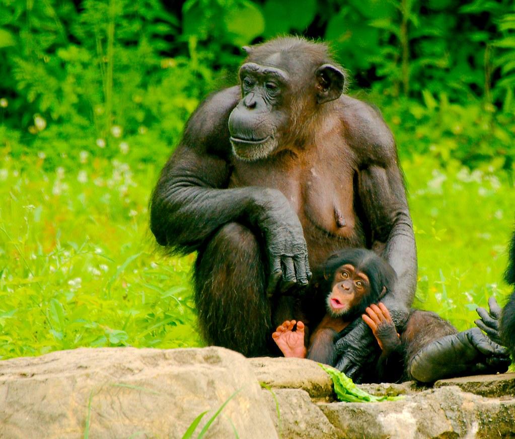 Chimpanzee (Pan troglodytes)_6