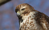 red-tailed hawk (imm) portrait