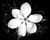 magnolia.-3310
