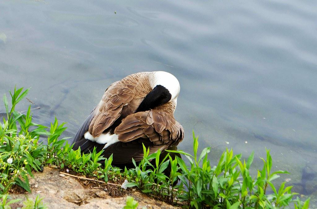 Reservoir Goose 20130514-DSC_2975.jpg