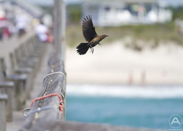 Grackle taking off