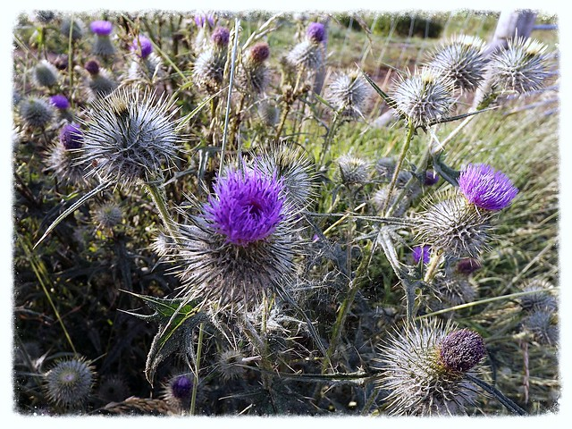 Flower of Scotland!, Fujifilm FinePix S3380