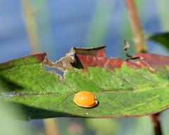 Ladybird sans spots