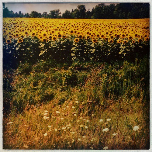 #sunflowers #flowers #summer