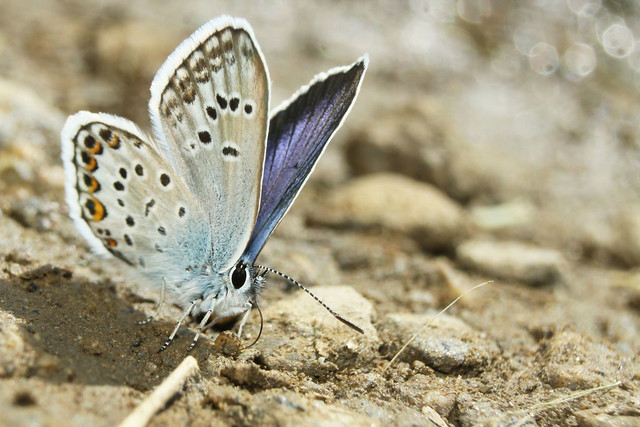Blue sp.- Mud Puddler