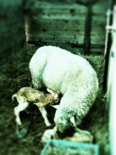 Twin lambs. Two hours old.