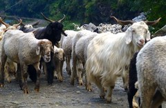 animal, sheeps, sheep, mammal, horn, goats, herd, domestic goat, fauna, herding,
