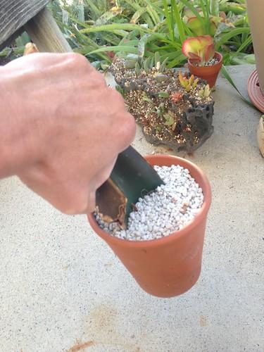 Gasteria excelsa leaf propagation