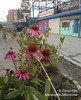 Coneflowers in Coney Island
