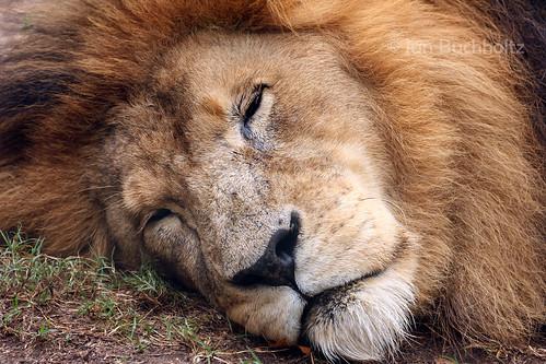 King of the Houston Zoo