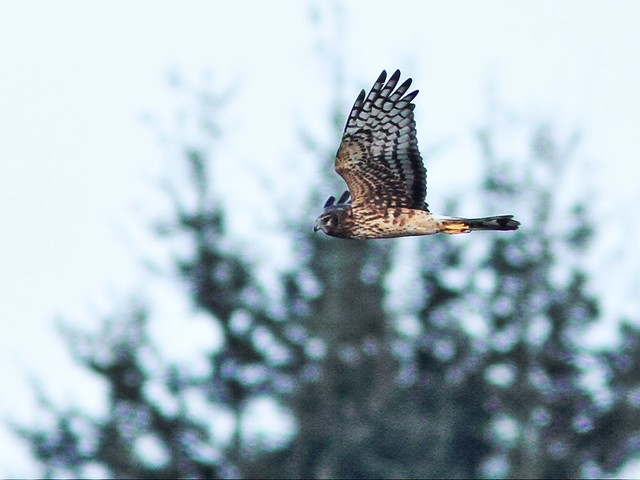 Northern Harrier 8-20131210