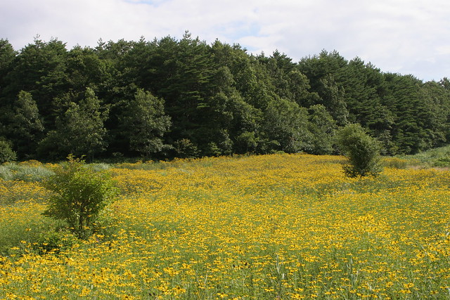 きれいなお花畑に見えるが,実は外来種のオオハンゴンソウ.