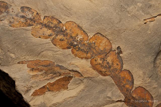 Leaf fossil #2