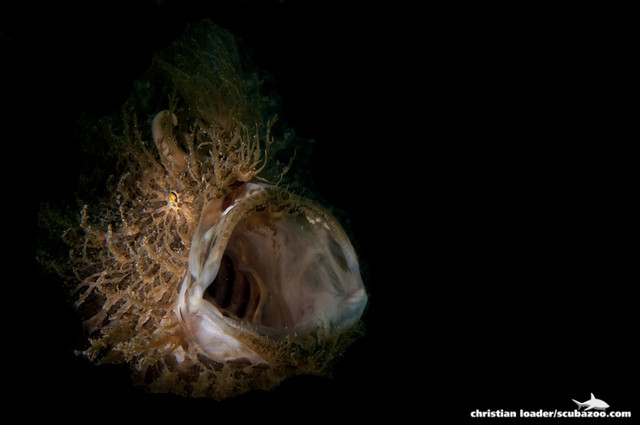 Hairy Frogfish - Lembeh Strait, Sulawesi, Indonesia - (snoot)