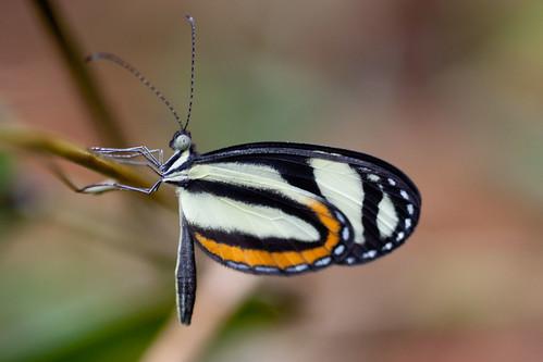 suriname tafelberg pieridae dismorphiinae moschoneura pinthous