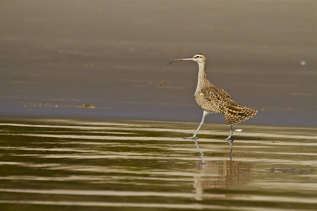 LONG-BILLED CURLEW ( Explore #15 27.02.2014 )