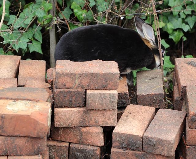 rabbit playing on bricks in garden