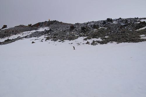 029 Wandeling Halfmoon Island - kinbandpinguins
