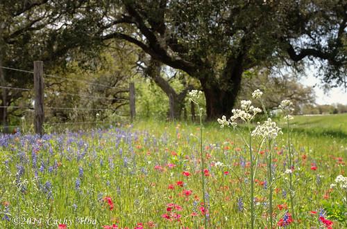 nature landscape spring nikon texas springflowers bluebonnets texaswildflowers texasbluebonnets texaslandscape drummondphlox nikon2470mmf28g nikond7000