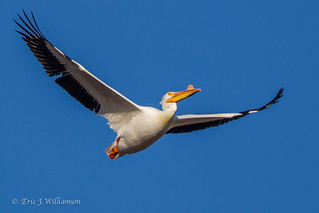 Pelican in Flight  4-2014
