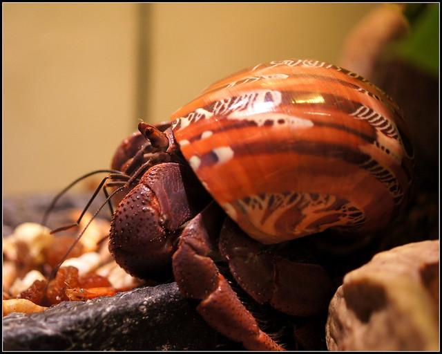 Coenobita clypeatus eating