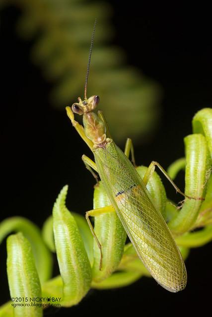 Mantis (Creobroter sp.) - DSC_4477