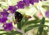 Carpenter Bee in the Mexican Sage