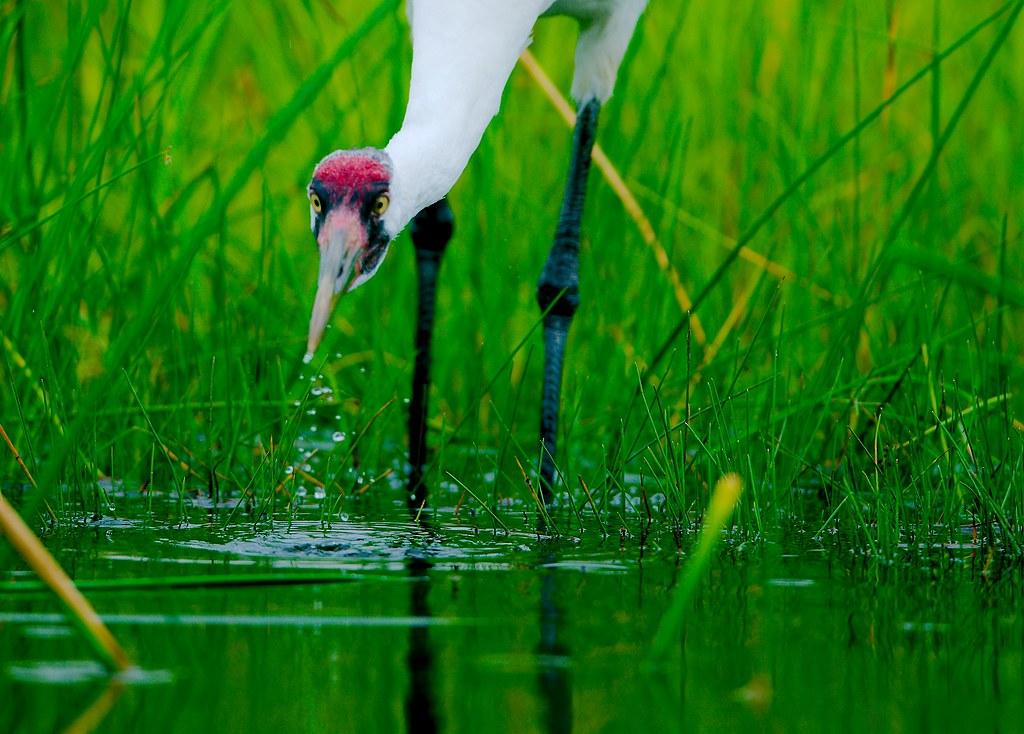Whooping Crane (Grus americana)_29