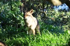 Canis Latrans aka Coyote