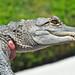 Small photo of Juvenile American Alligator (Alligator mississippiensis)