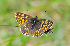 HolderDuke of Burgundy- Hamearis lucina