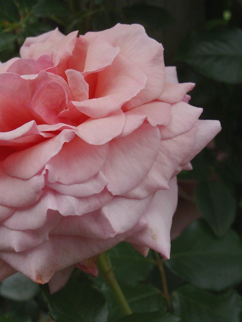 Ombre Rose