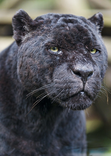 Portrait of Polo by Tambako the Jaguar