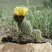 Plains Pricklypear Cactus