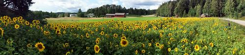 panorama sunflower ansalahti