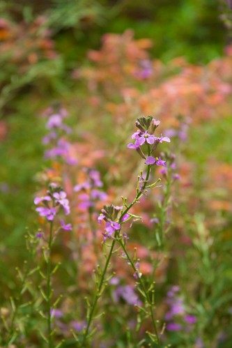 erysimum and agastache  3458