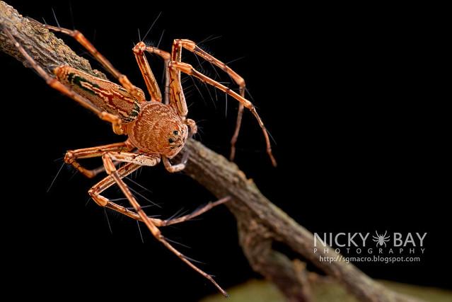 Lynx Spider (Oxyopidae) - DSC_1965